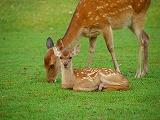二枚目 鹿さん